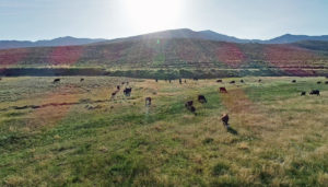 Aerial Nevada Ranch Video - Cows